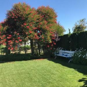 azuljardines.com_podas-árboles_Erythrina-crista-galli-DESPUÉS-PODA