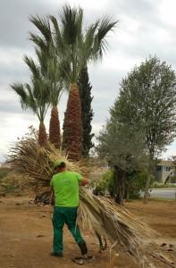 azuljardines.com_podas palmeras_recogiendo hojas