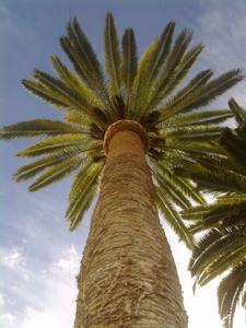 azuljardines.com_poda_palmeras_2