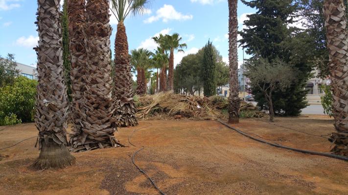 azuljardines.com_poda_palmeras_4