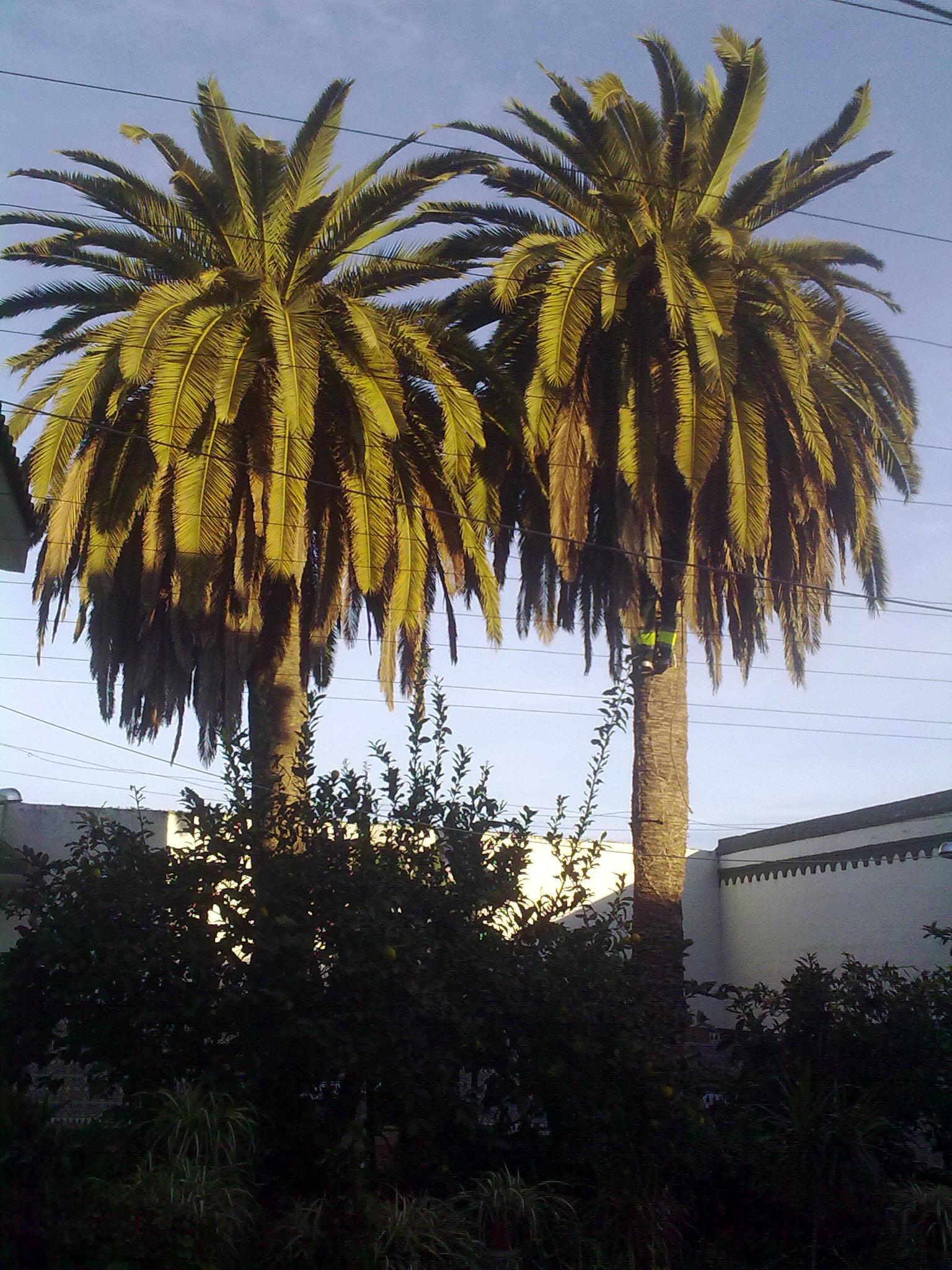 azuljardines.com_poda_palmeras_antes_1