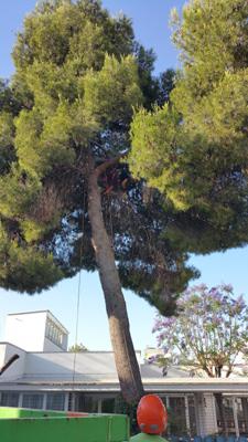 azuljardines.com_podas_pino_8